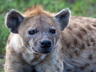 Papiers peints Hyène beautiful wild hyena in Serengeti National Park, Tanzania