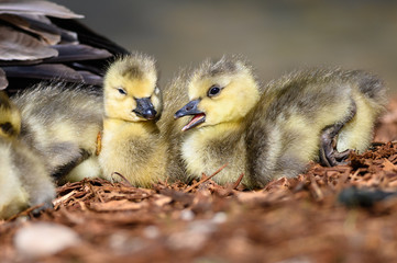 Wall Mural - Two Newborn Goslings Resting Quietly on the Soft Ground