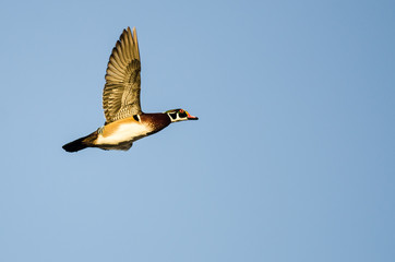 Wall Mural - Wood Duck Flying in a Blue Sky