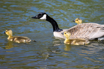 Wall Mural - Newborn Goslings Learning to Swim Under the Watchful Eye of Mother