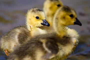 Fototapete - Newborn Gosling Exploring the Fascinating New World