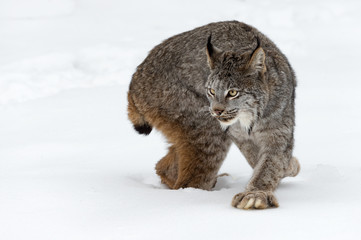 Fotomurales - Canadian Lynx (Lynx canadensis) Step and Turn Winter