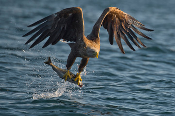 Photo sur Plexiglas Aigle White-tailed eagle