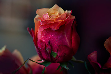 Rose - colors of flame