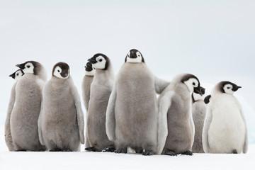 Papiers peints Antarctique Emperor Penguins chicks on ice in Antarctica