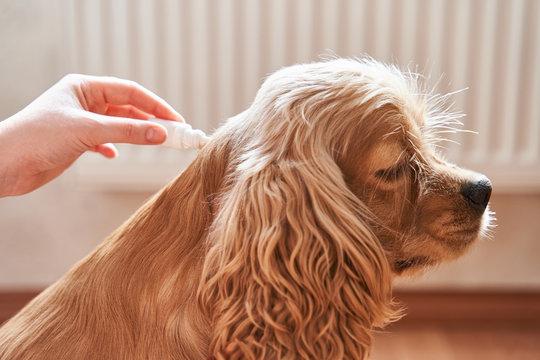 the dog is treated with a flea remedy. The dog is dripped on the withers with a parasite remedy