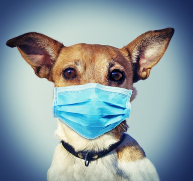 Jack Russel Dog with Face Mask - Coronavirus SARS-CoV-2