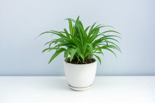 A pot of Chlorophytum on the white table. A pot of green leaf spider plants on a white table