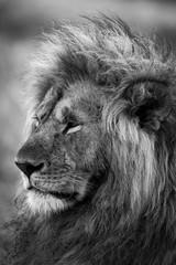 Czarno biały Lew. Grzywa lwa