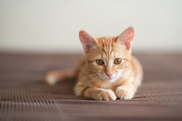 Cute red kitten with classic marble pattern lies on sofa. Adorable little pet. Cute child animal