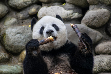 Printed roller blinds Panda Giant panda eating bamboo in China