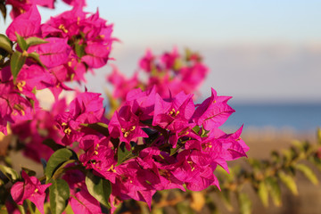 Poster Rose Nahaufnahme einer pink blühenden Bougainvillea