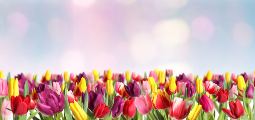 Tuinposter Tulp Many beautiful tulips on blurred background. Banner design