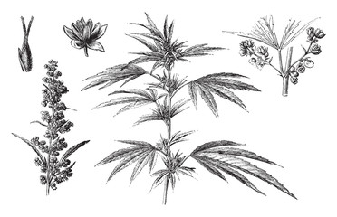 Cannabis sativa / vintage illustration from Brockhaus Konversations-Lexikon 1908