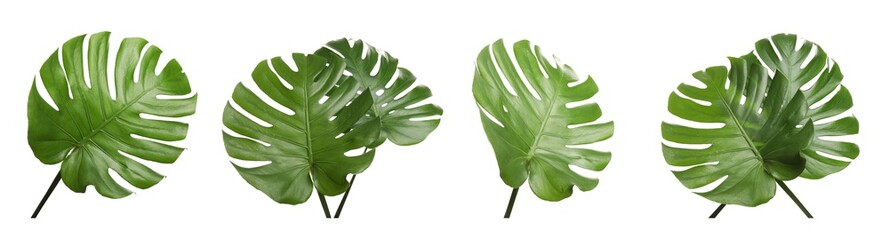 Set with tropical Monstera leaves on white background. Banner design Wall mural