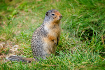 Close up of a columbian ground squirrel standing up in the grass