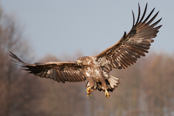 White - tailed eagle (Haliaeetus albicilla) incoming. Wall mural