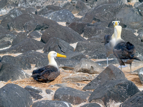 View of Waved Albatross (Phoebastria Irrorata) birds on Espanola Island in the Galapagos archipelago, Ecuador, South America