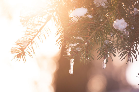 Spruce tree branches with white snow on top with the evening sun shining through in winter producing bright sunflairs