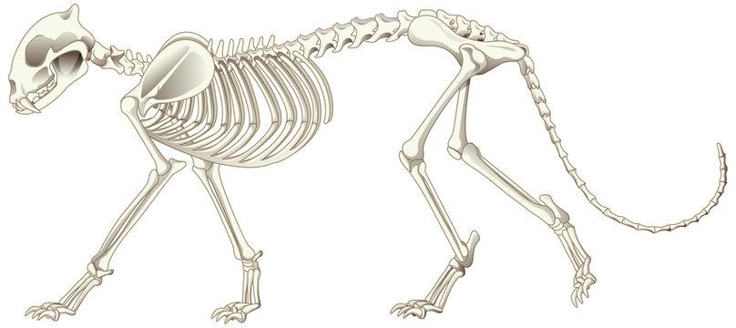 Leopard skeleton on white background