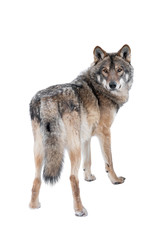 wolf standing in the snow isolated on a white