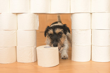 Cute small Jack Russell Terrier dog is busy with toilet paper.