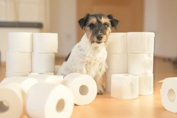 Cute beauty small Jack Russell Terrier dog is busy with toilet paper.