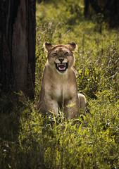 roar of a lioness. Portrait of a lioness.