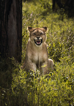 roar of a lioness. Portrait of a lioness.