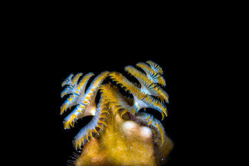 Christmas tree worm in a dark background