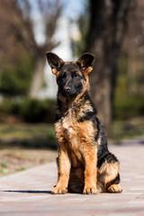 Wall Mural - German shepherd puppy training outdoors