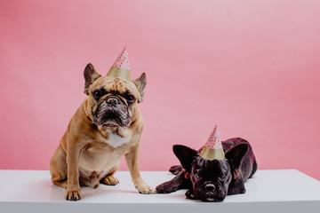 Two french bulldogs wearing party hats