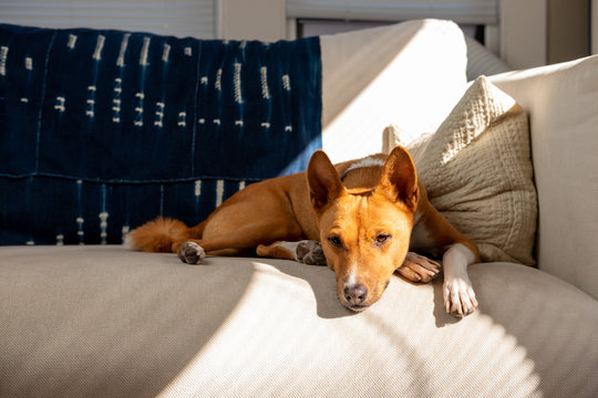 Dog napping on white couch in window light