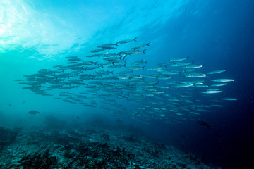 School of Barracuda fishes underwater