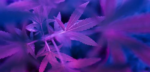 Colorful, vibrant and funky cannabis/marijuana background