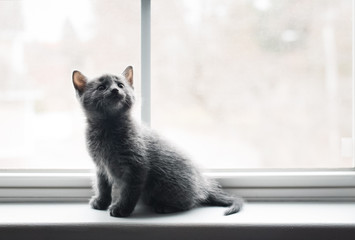 Adorable gray kitten sitting on a window ledge looking up.