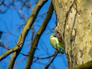 Ring Necked Parakeet , Rose-ringed parakeet (Psittacula krameri) perched on nest hole in a tree Fotomurales