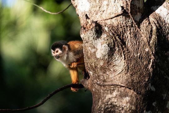 Wild squirrel monkey in a tree in Costa Rica