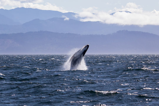Humpback whale breaching off the coast of Victoria British Columbia