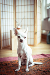 sweet white tiny dog looks at camera standing in window light