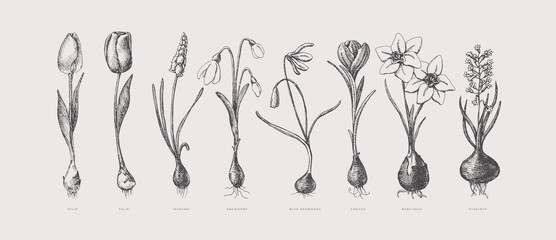 Large set of hand-drawn first spring flowers. Tulips, snowdrops, crocus, daffodil, hyacinth with bulbs vector illustration. Botanical retro image for garden background, floral design.