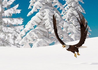 Fototapete - bald eagle is flying up on white snow