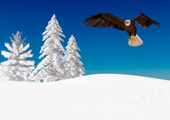 Fototapete - bald eagle is landing on white snow