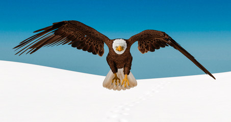 Fototapete - bald eagle is landing on white snow front view