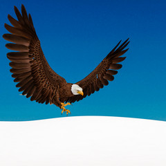 Fototapete - bald eagle is attacking on white snow