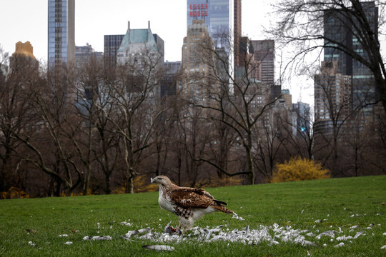 A red-tailed Hawk feasts on a pigeon in the Sheep Meadow of Central Park with the skyline of midtown Manhattan in the background in New York City
