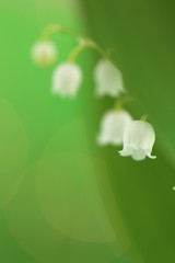 Photo sur Aluminium Muguet de mai Lily of the valley may flower with green leaves on a light green background. Soft blurry focus.Floral spring background.Spring flowers. copy space. Flower card