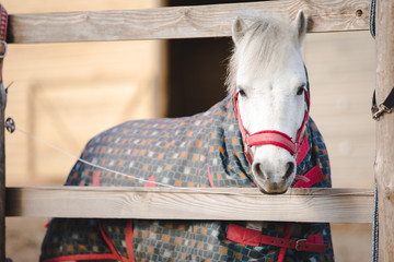 portrait of cute white pony in blanket near shelter in horse paddock