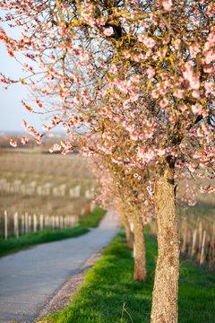 blühende Mandelbäume in Weinbergen