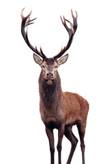 Poster Deer Mature Red Deer Stag isolated on white.